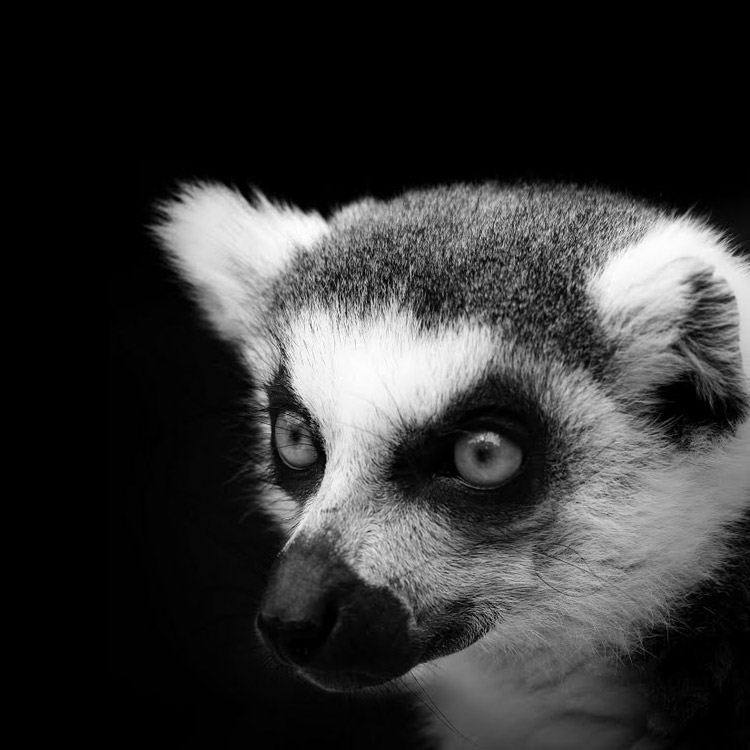 animals-lukas-holas-lemur