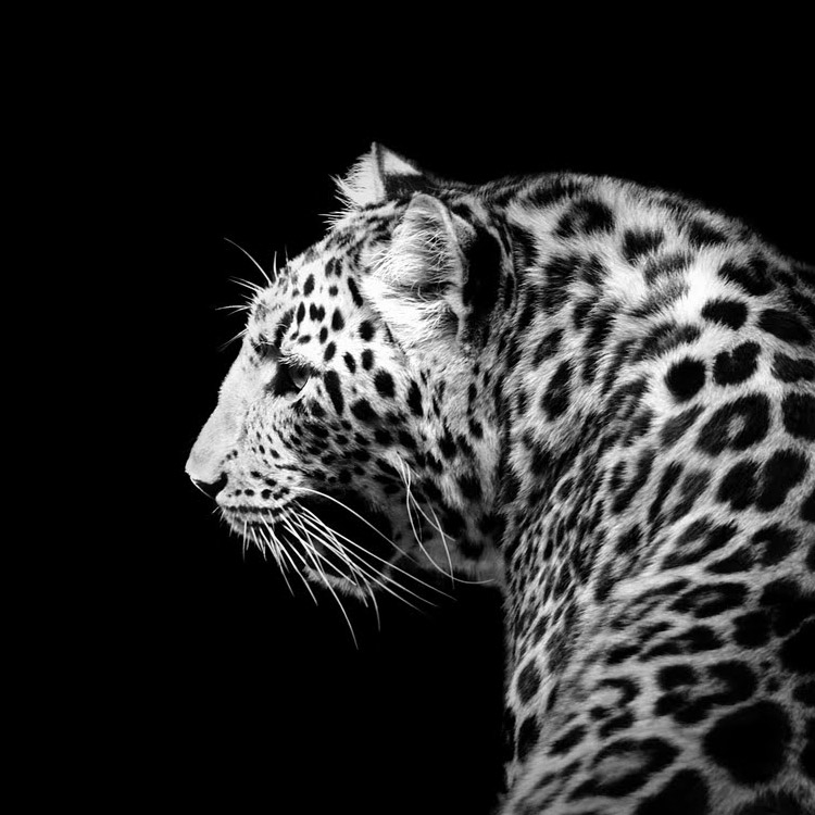 Graphics For Lukas Holas Graphics Wwwgraphicsbuzzcom - Breathtaking black and white animal portraits by lukas holas