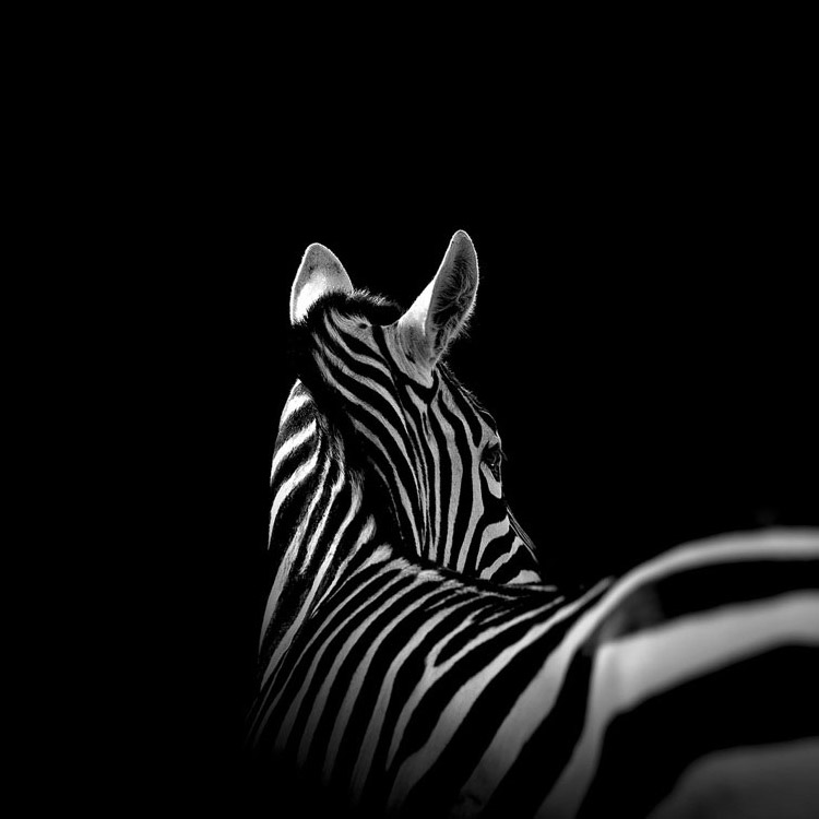 animals-lukas-holas-zebra
