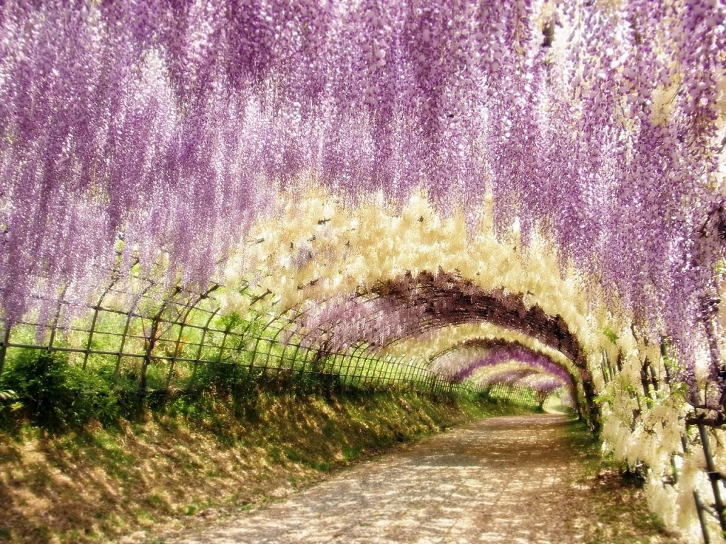 27 breathtaking views to behold of mother nature s Wisteria flower tunnel path in japan