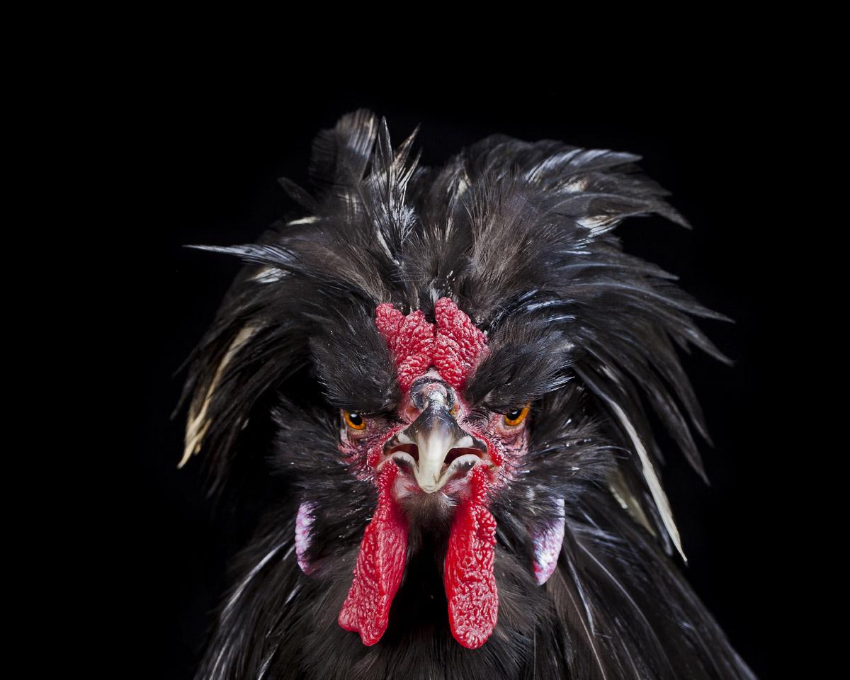 cocks-ernest-goh-14