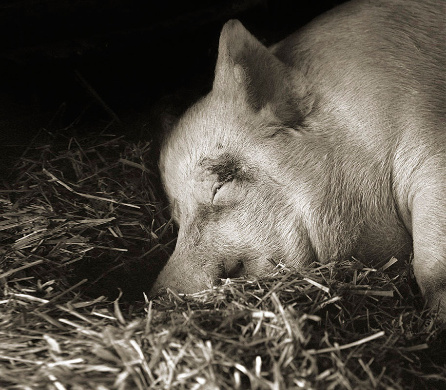 isa-leshko-elderly-animals-pig-01