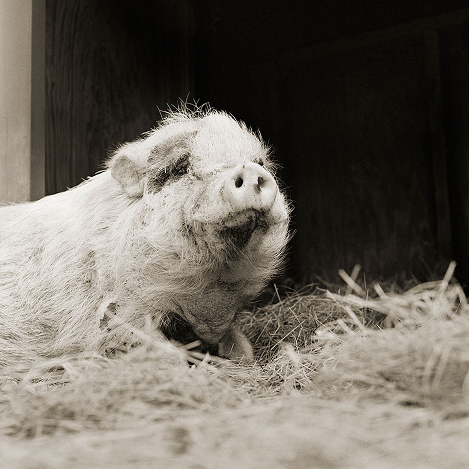 isa-leshko-elderly-animals-pig-02
