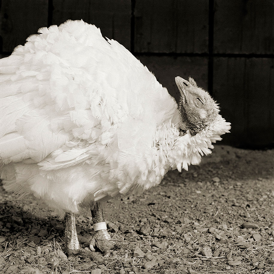 isa-leshko-elderly-animals-white-turkey-02
