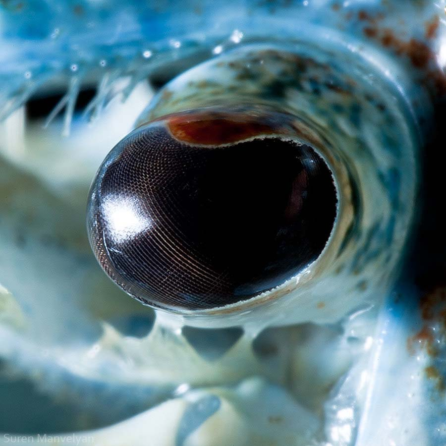 suren-manvelyan-animal-eyes-blue-crab