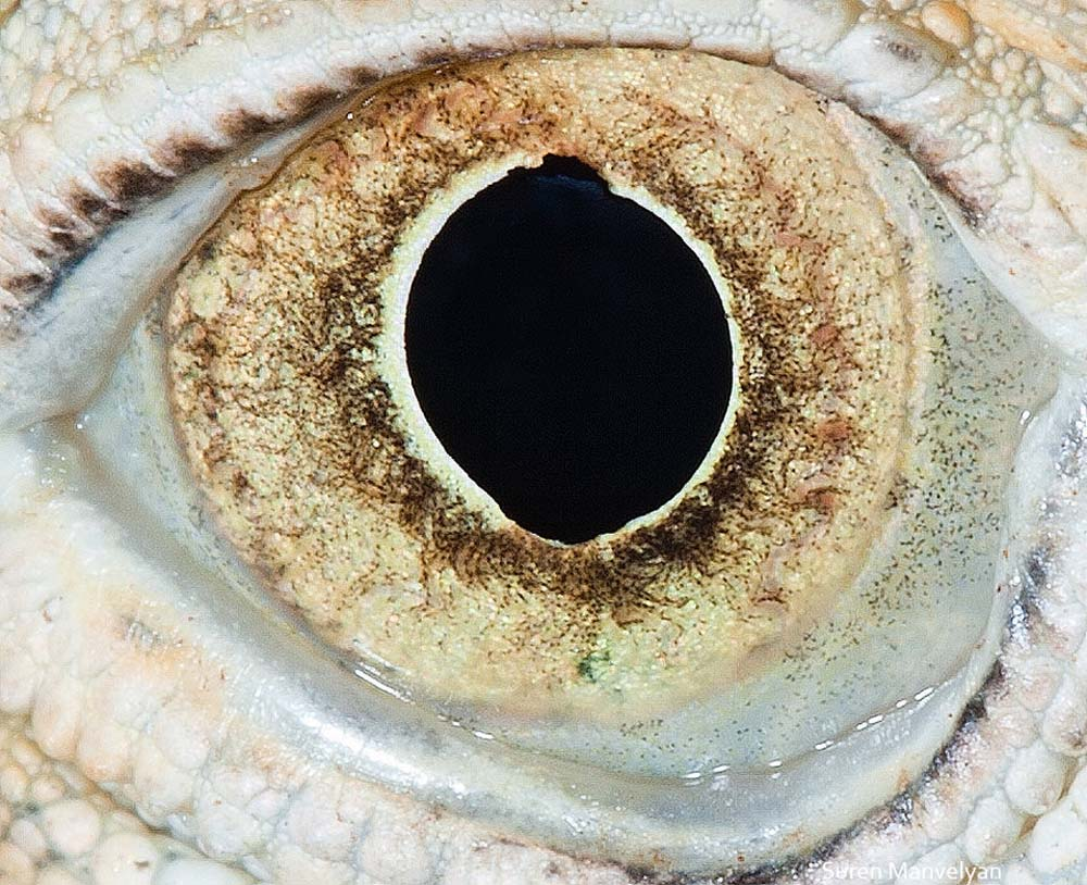 suren-manvelyan-animal-eyes-iguana