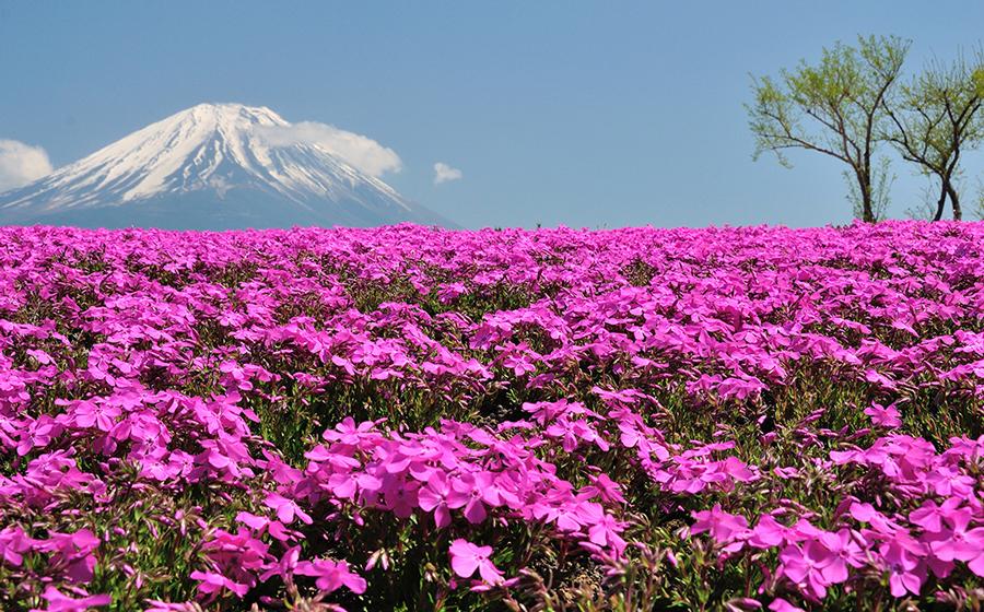 shibazakura-flower-festival-02