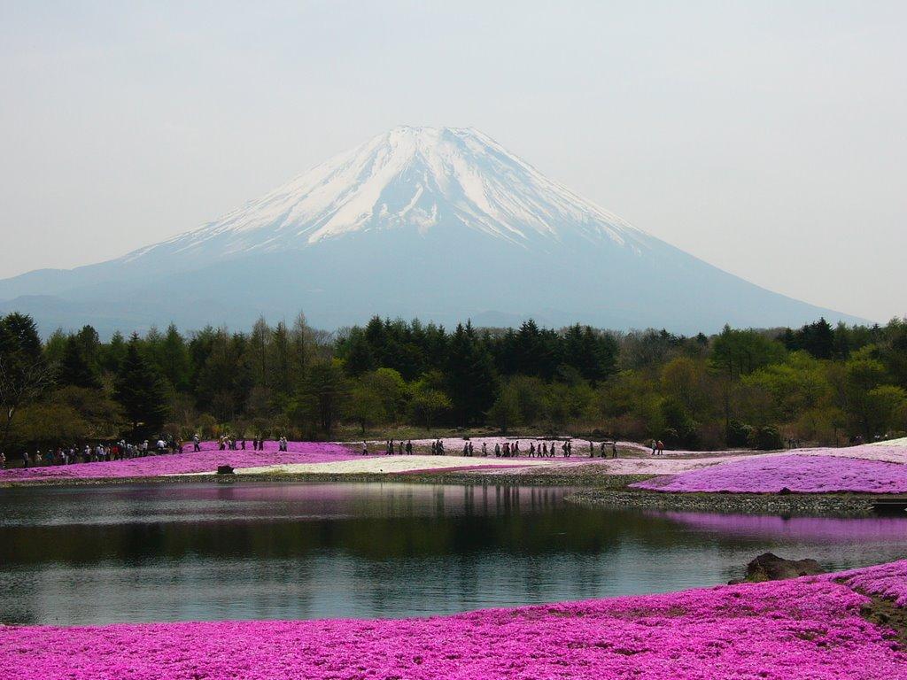 shibazakura-flower-festival-04