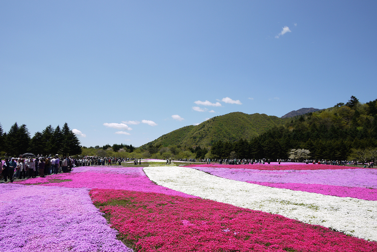shibazakura-flower-festival-06