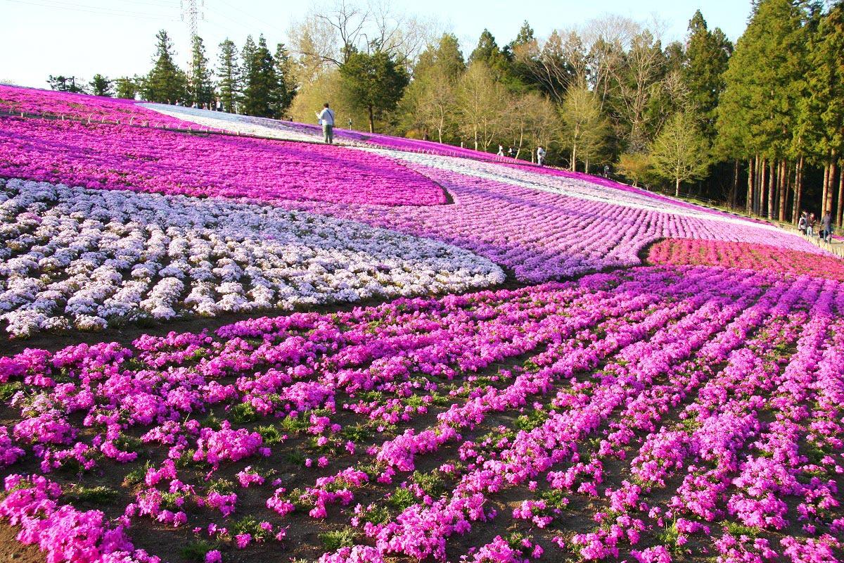shibazakura-flower-festival-10