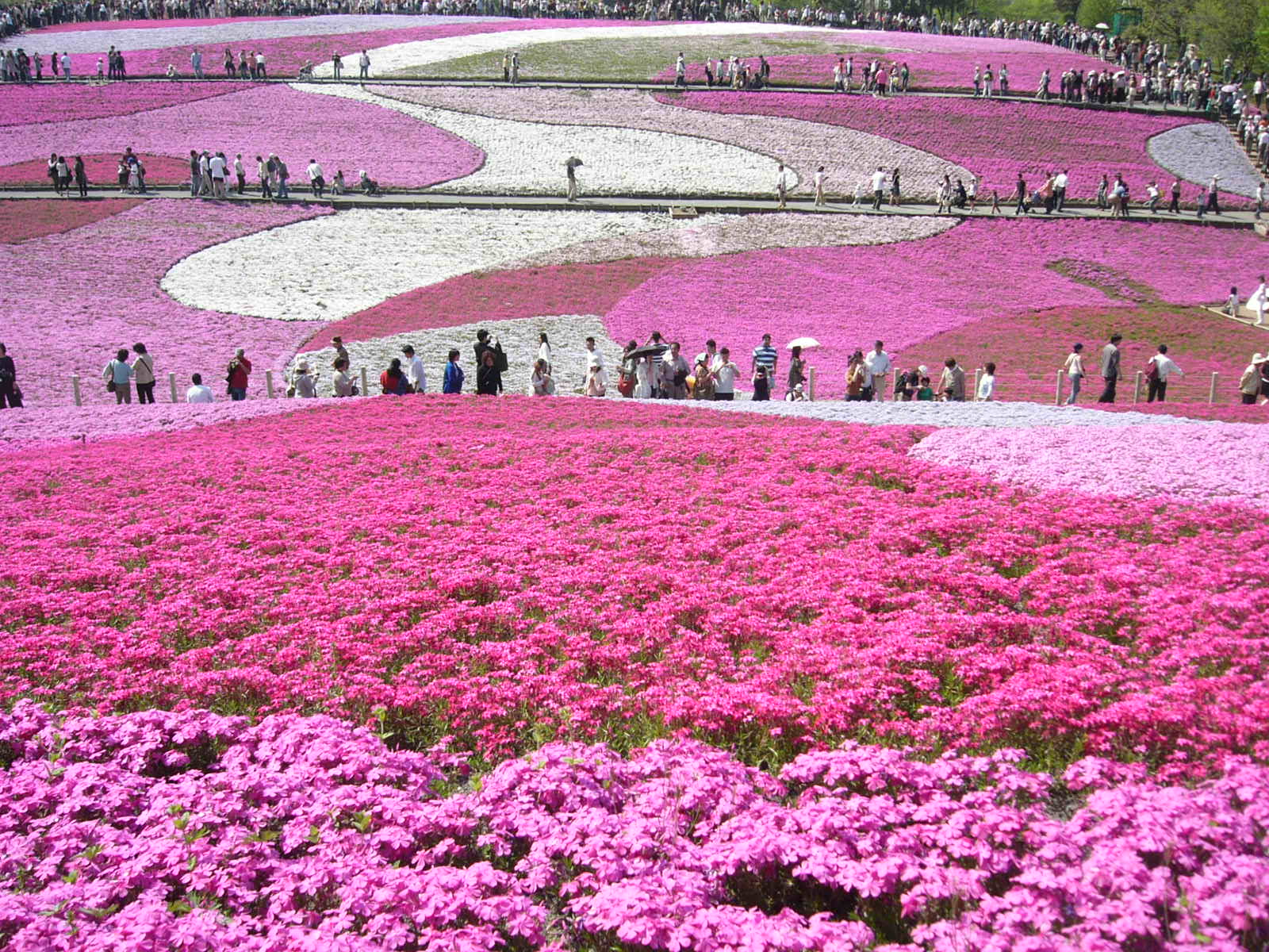 shibazakura-flower-festival-11