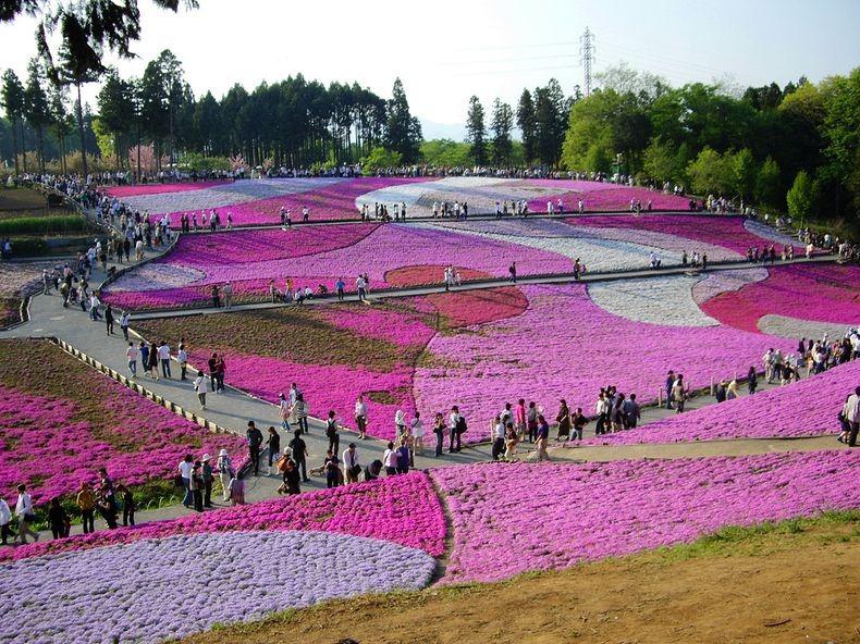 shibazakura-flower-festival-12