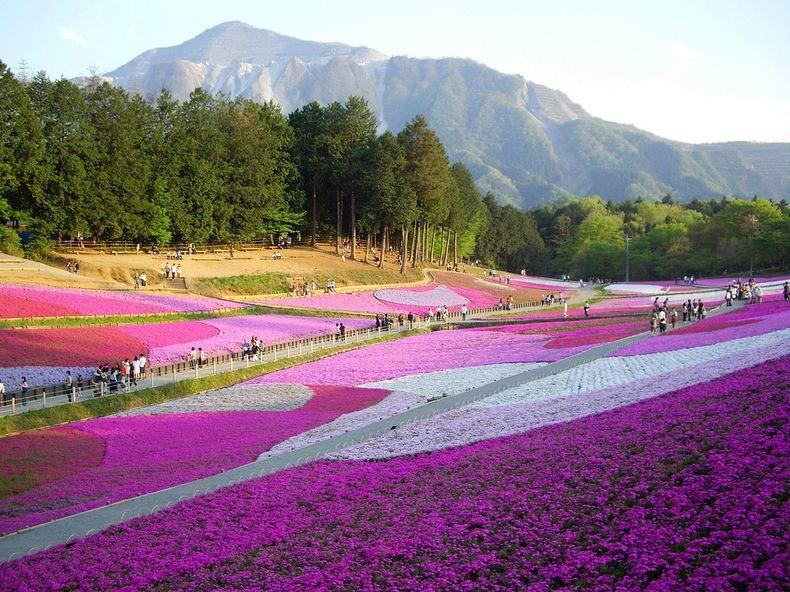 shibazakura-flower-festival-14