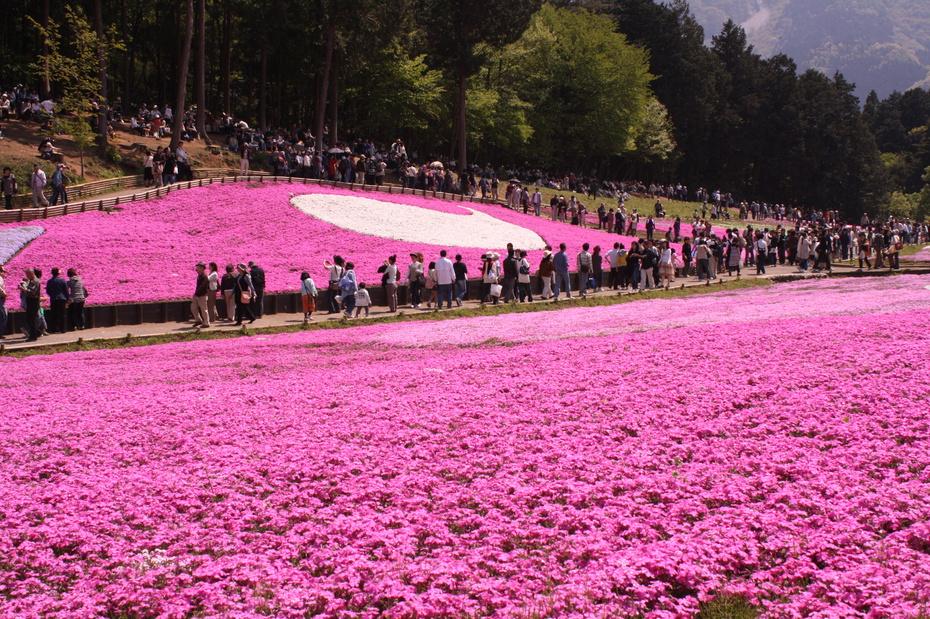 shibazakura-flower-festival-16