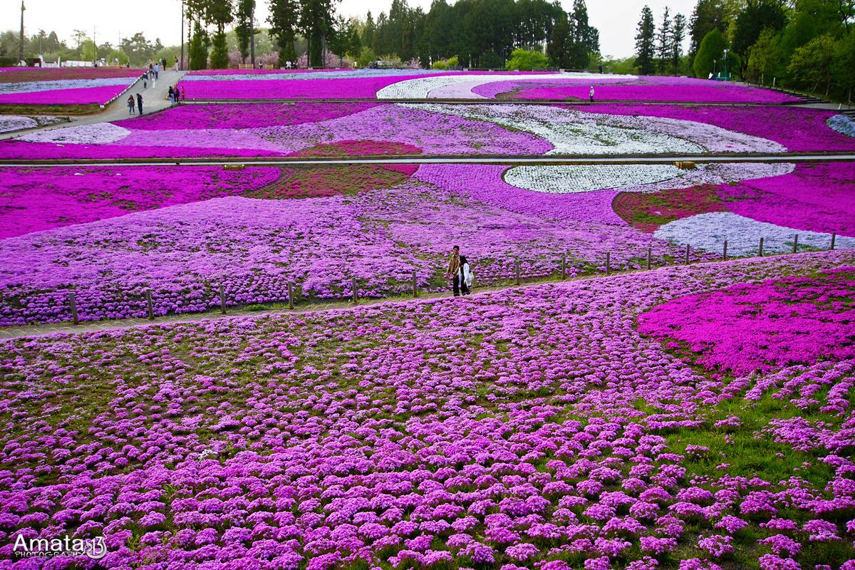 shibazakura-flower-festival-20