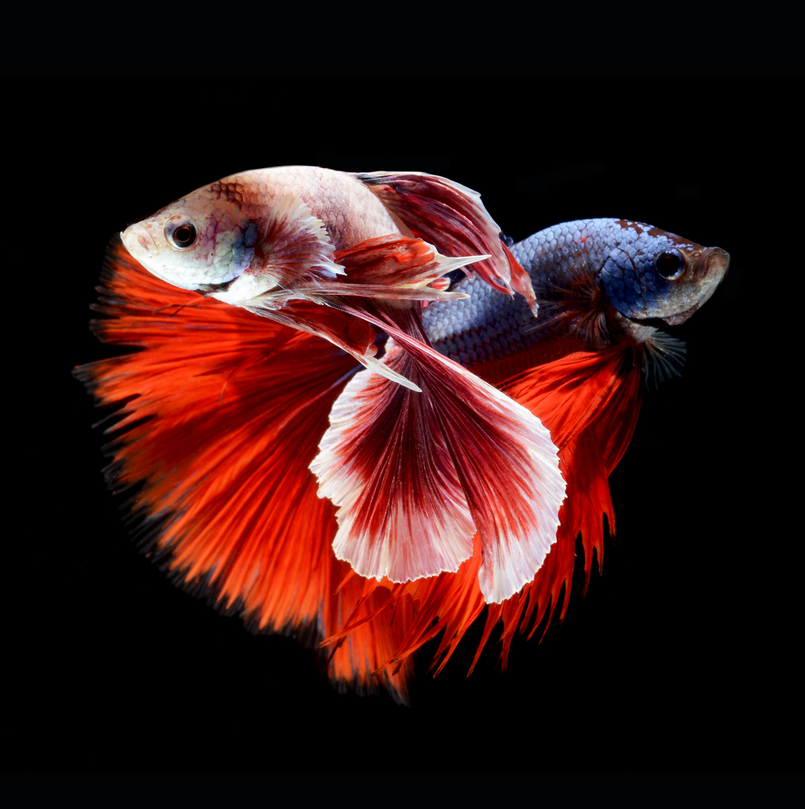 siamese-fighting-fish-visarute-angkatavanich-02