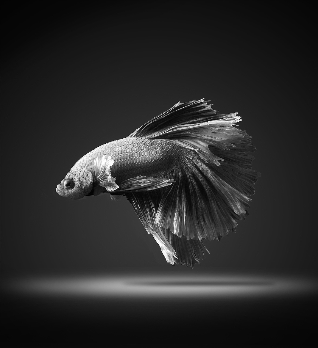 siamese-fighting-fish-visarute-angkatavanich-03