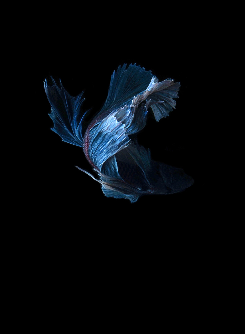 siamese-fighting-fish-visarute-angkatavanich-04