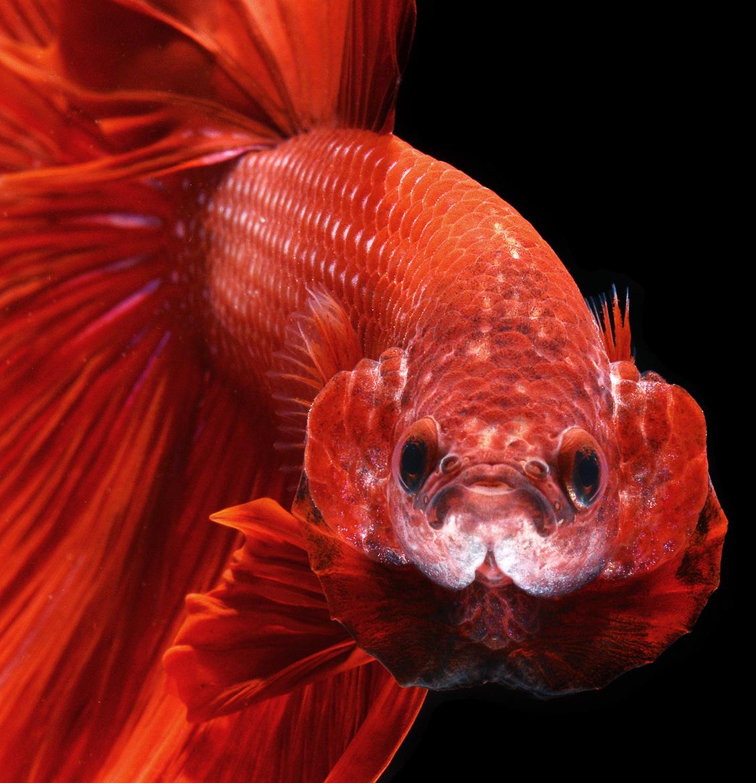 siamese-fighting-fish-visarute-angkatavanich-05