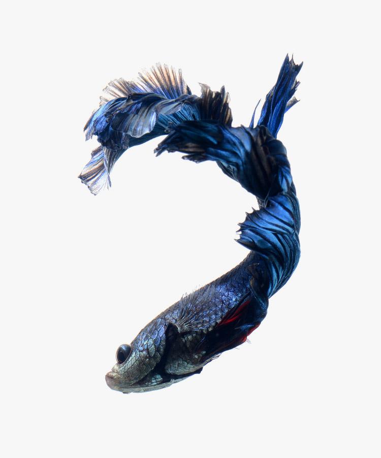 siamese-fighting-fish-visarute-angkatavanich-06