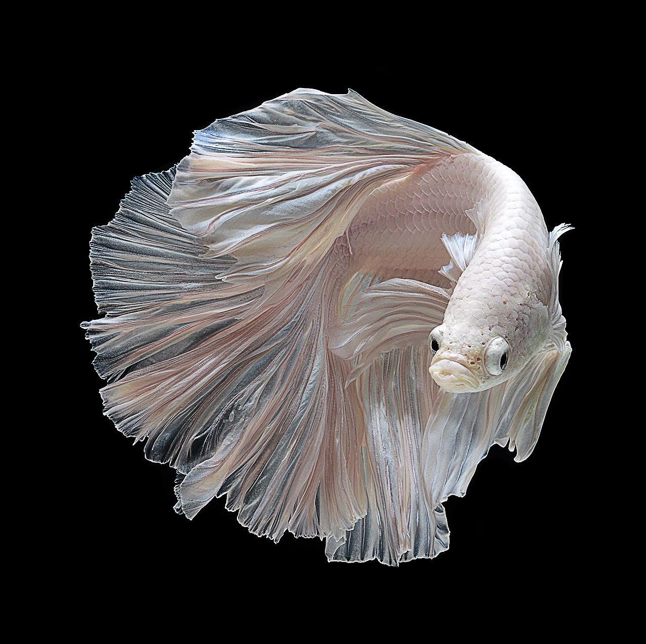 siamese-fighting-fish-visarute-angkatavanich-07