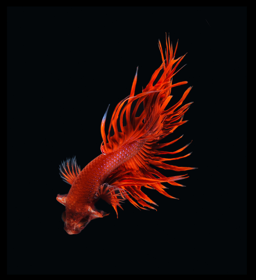 siamese-fighting-fish-visarute-angkatavanich-08