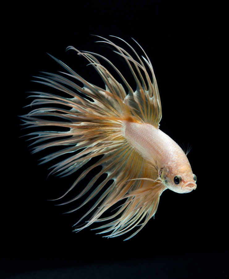 siamese-fighting-fish-visarute-angkatavanich-09
