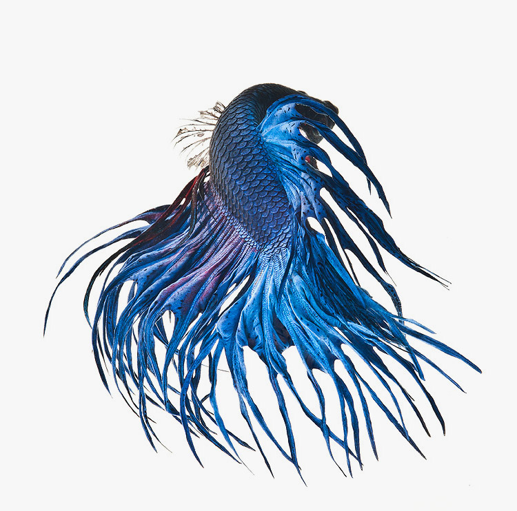 siamese-fighting-fish-visarute-angkatavanich-11