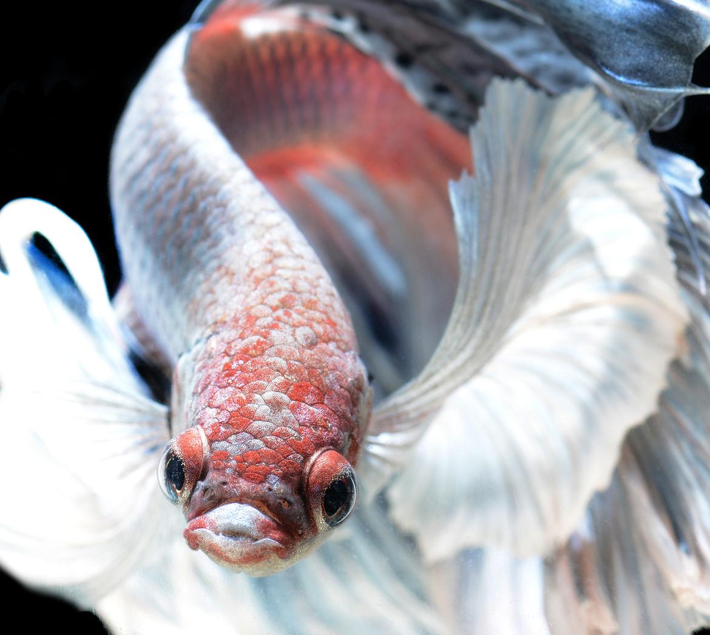 siamese-fighting-fish-visarute-angkatavanich-13