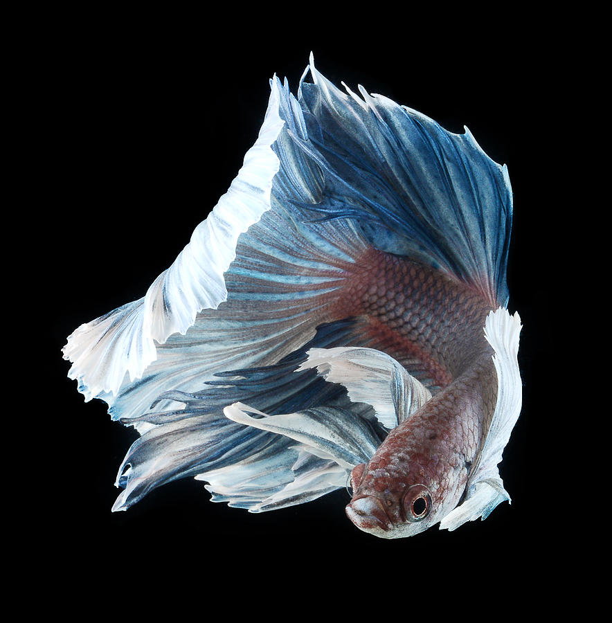 siamese fighting fish and fight rusty Known as siamese fighting fish, the bettas of that time were not the same  as  many as 50 bettas an hour from the rice paddies, and then conduct fish fights to   colors bettas are also now bred in metallic colors such as copper, gold, rust.