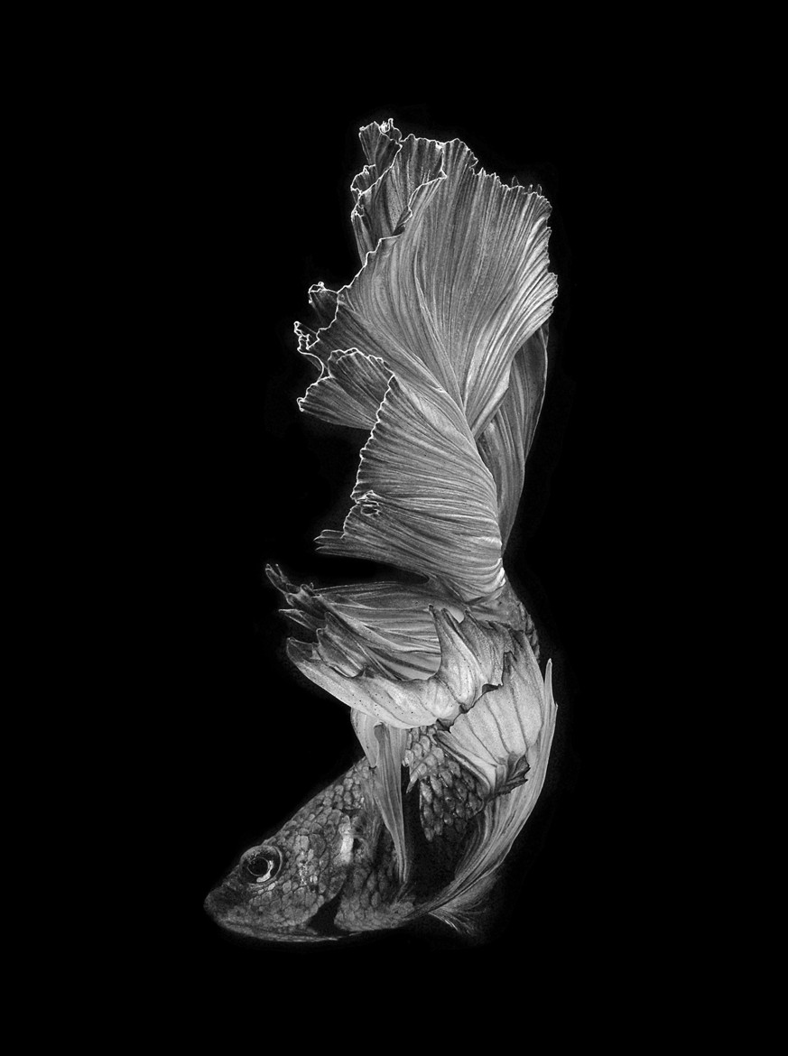 siamese-fighting-fish-visarute-angkatavanich-16