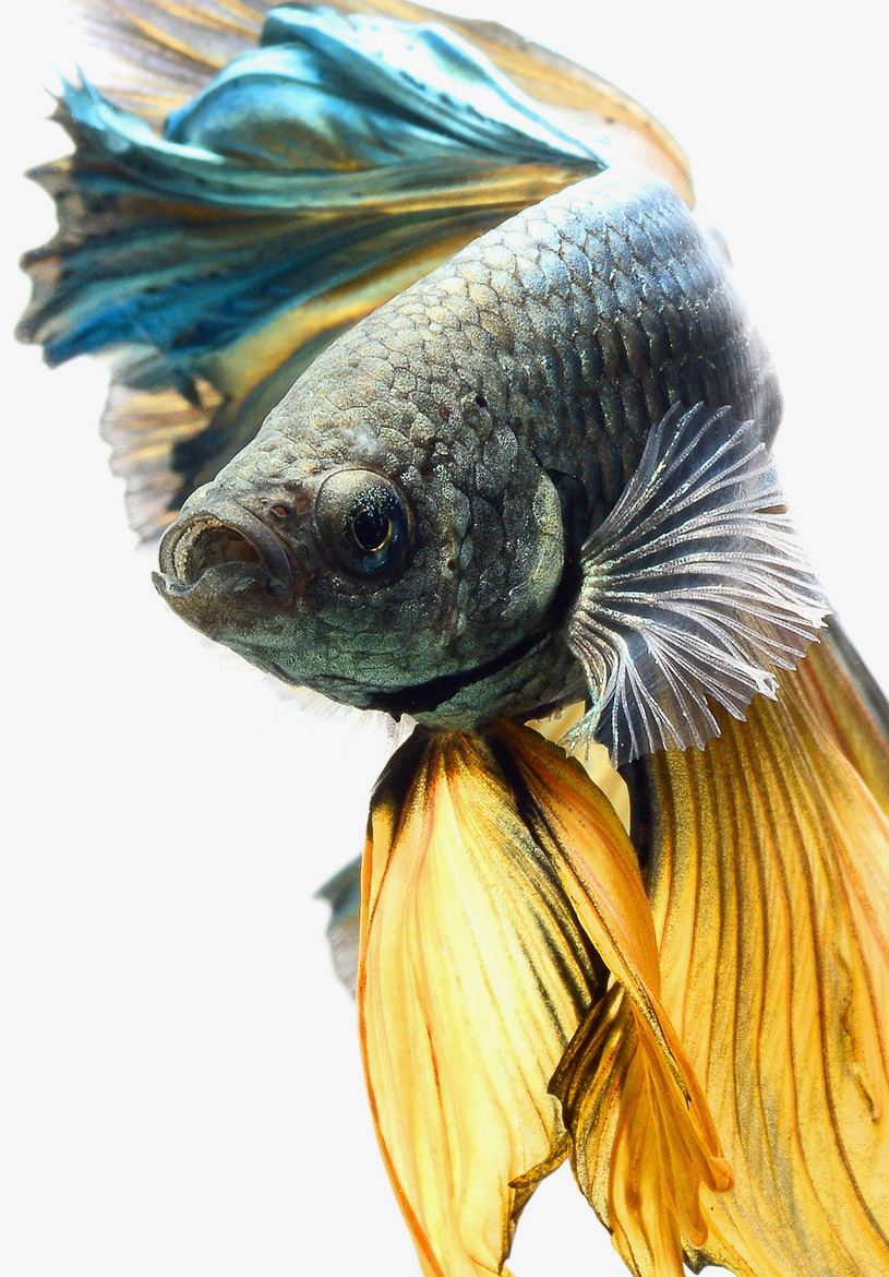siamese-fighting-fish-visarute-angkatavanich-17