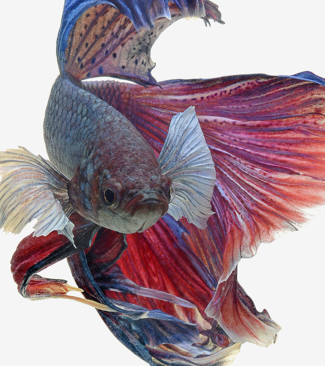 siamese-fighting-fish-visarute-angkatavanich-18