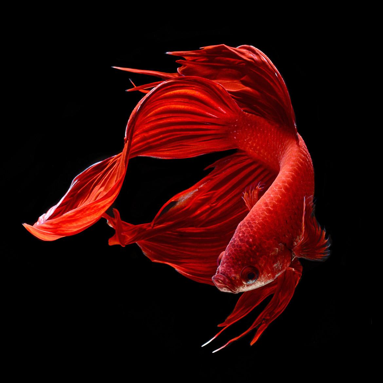 siamese-fighting-fish-visarute-angkatavanich-19