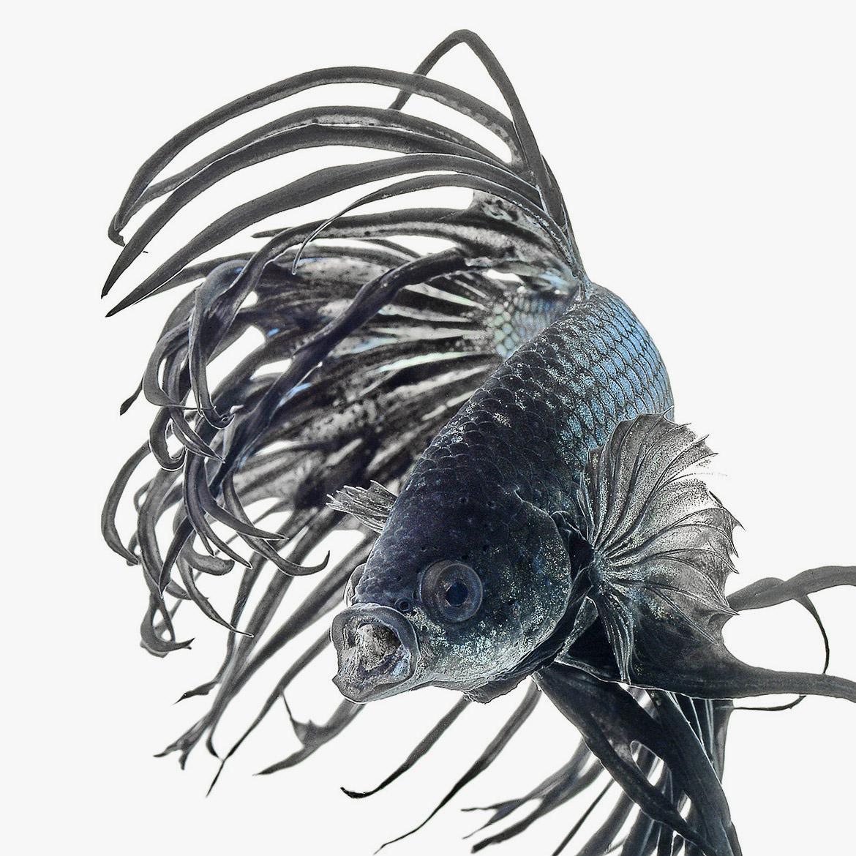 siamese-fighting-fish-visarute-angkatavanich-21
