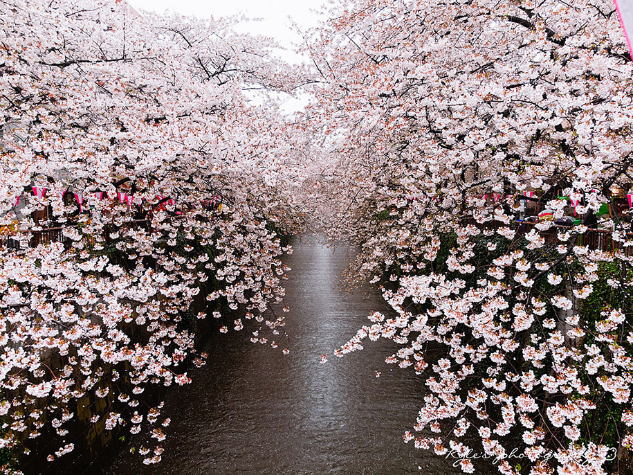 2014-japanese-cherry-blossom-blooming-sakura-01