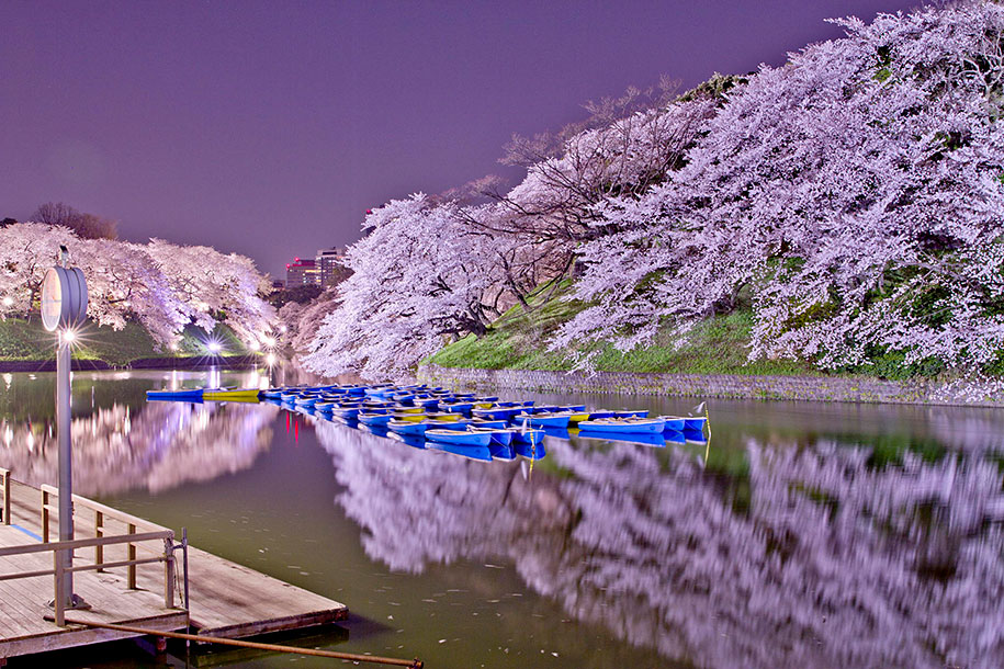 2014-japanese-cherry-blossom-blooming-sakura-03