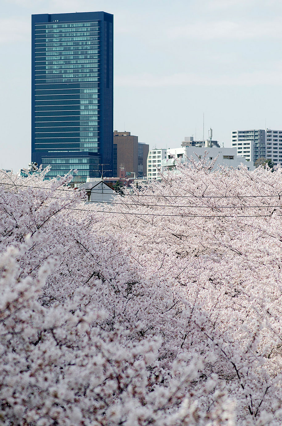 2014-japanese-cherry-blossom-blooming-sakura-05