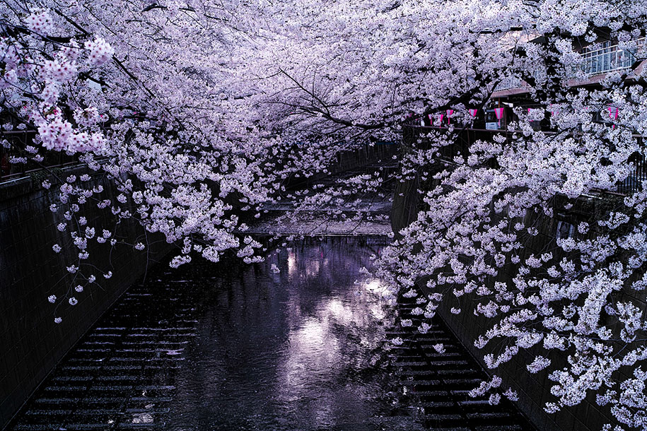 2014-japanese-cherry-blossom-blooming-sakura-06