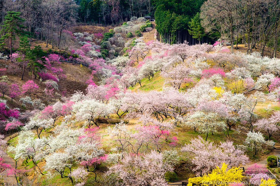 2014-japanese-cherry-blossom-blooming-sakura-08