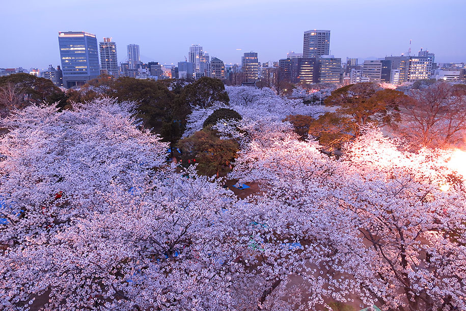 2014-japanese-cherry-blossom-blooming-sakura-09