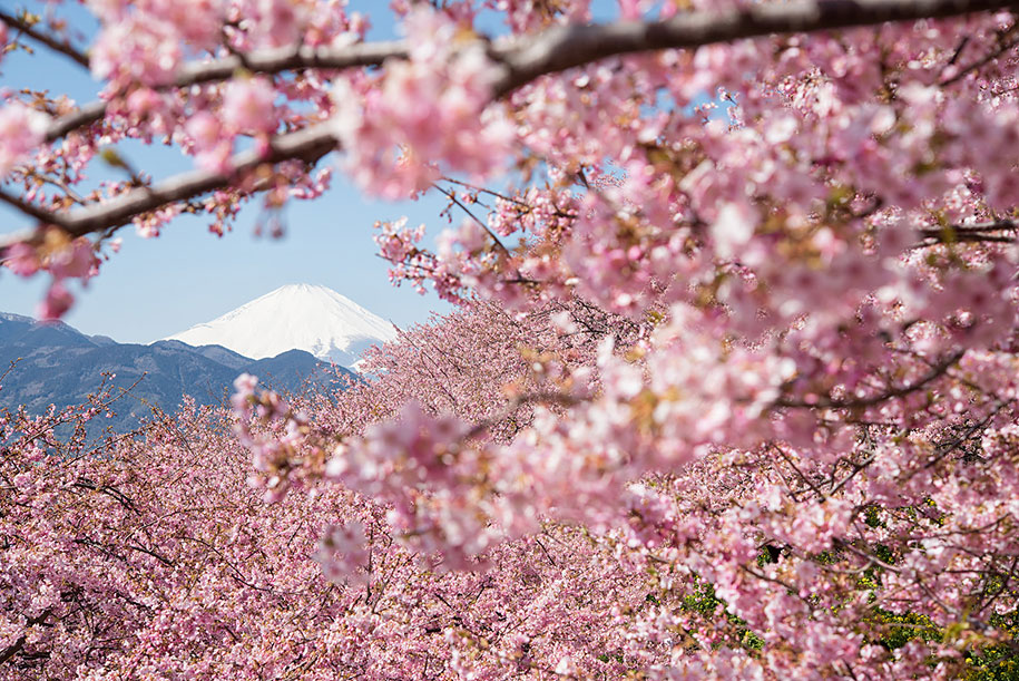 2014-japanese-cherry-blossom-blooming-sakura-10