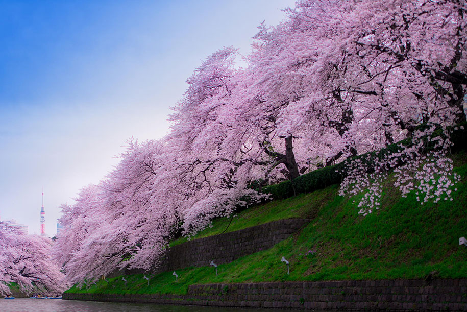 2014-japanese-cherry-blossom-blooming-sakura-13