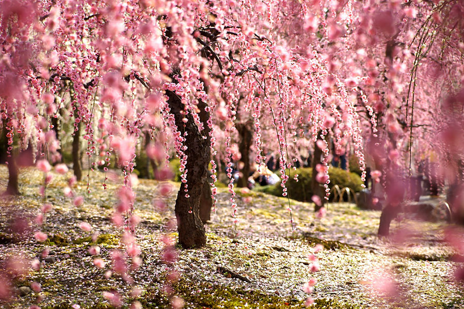 2014-japanese-cherry-blossom-blooming-sakura-17