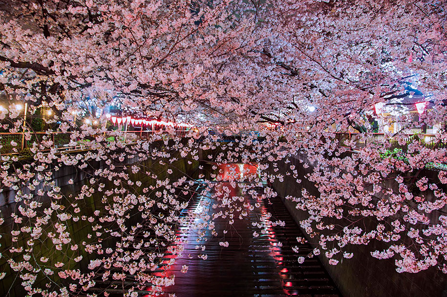2014-japanese-cherry-blossom-blooming-sakura-18