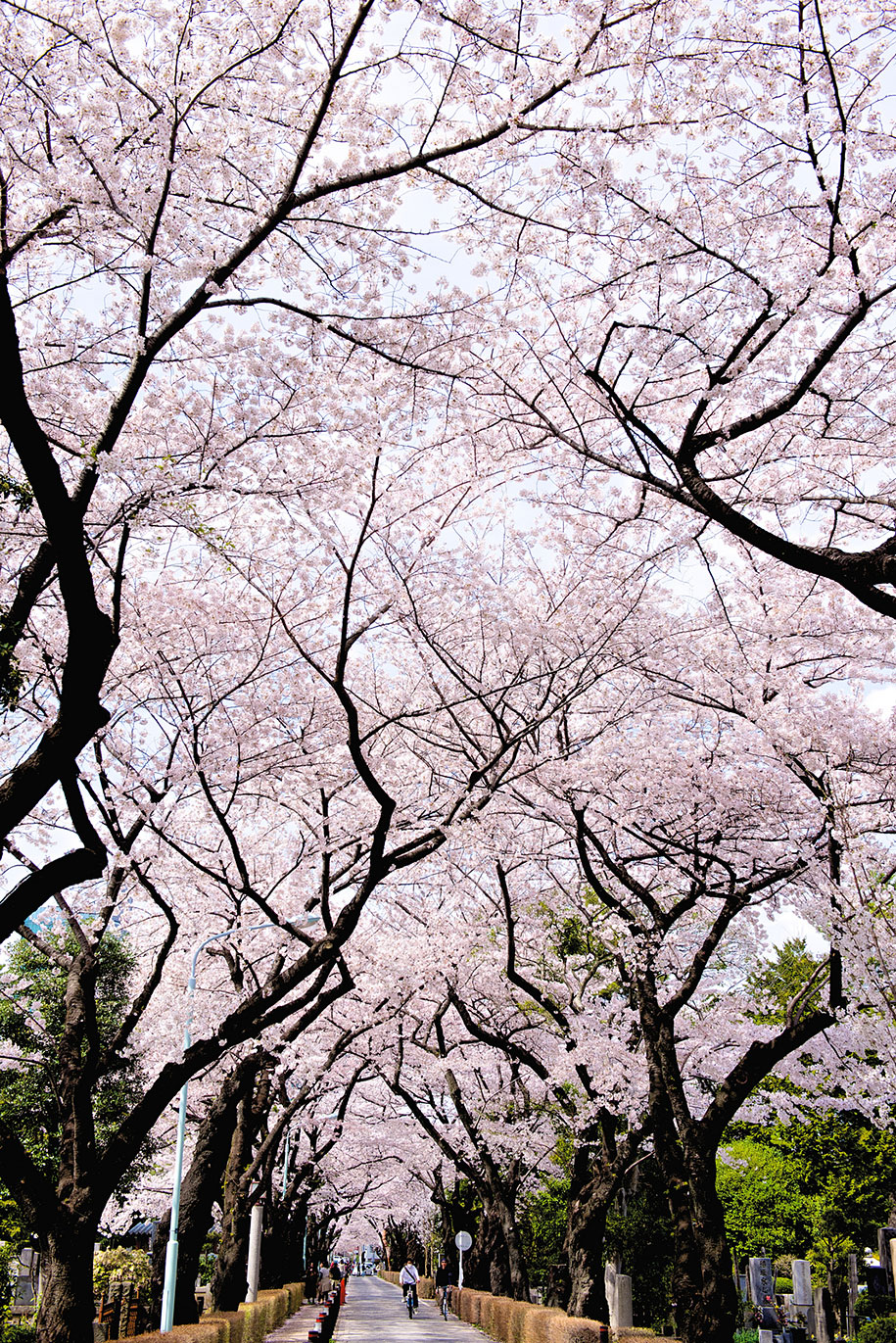 2014-japanese-cherry-blossom-blooming-sakura-19