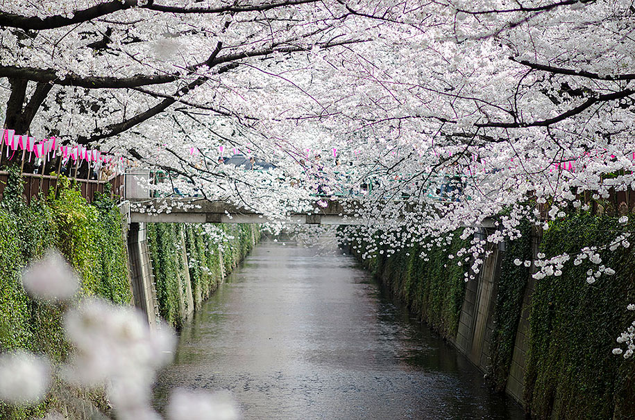 2014-japanese-cherry-blossom-blooming-sakura-21