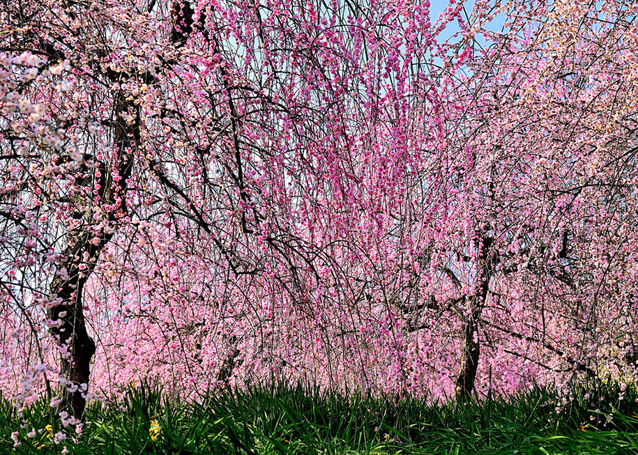 2014-japanese-cherry-blossom-blooming-sakura-24