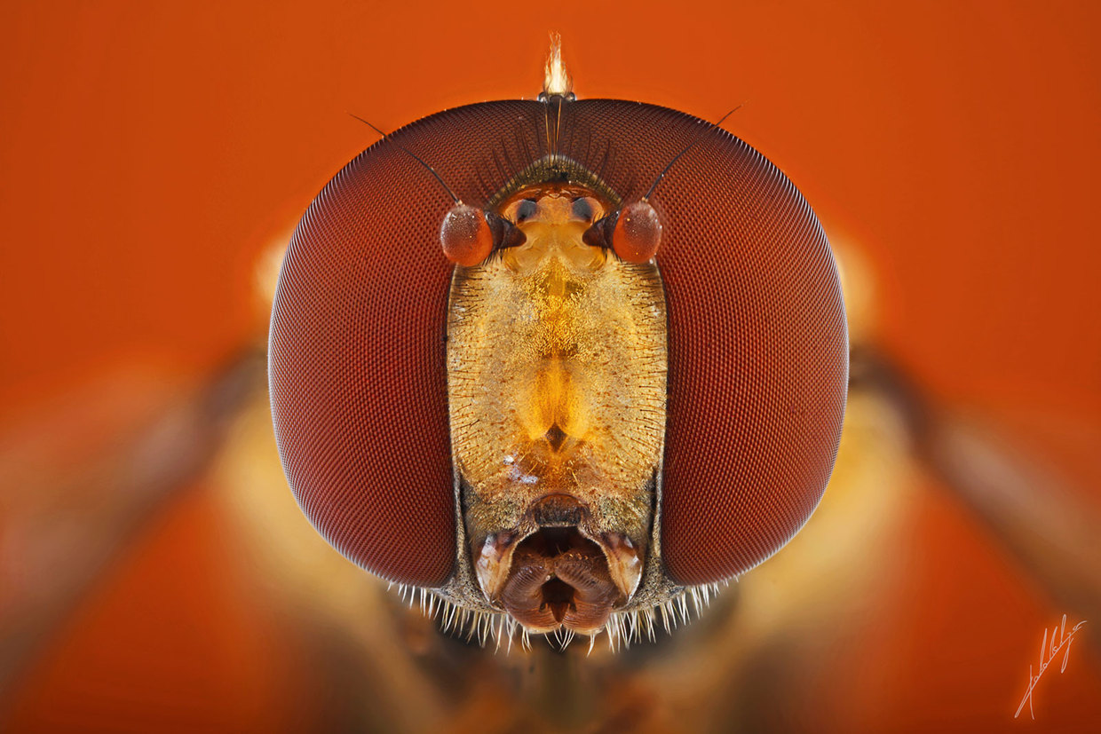 insect-macro-photography-paulo-lataes-06