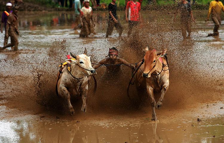 Batusangkar, Indonesia: Jockeys control harnessed cows during race